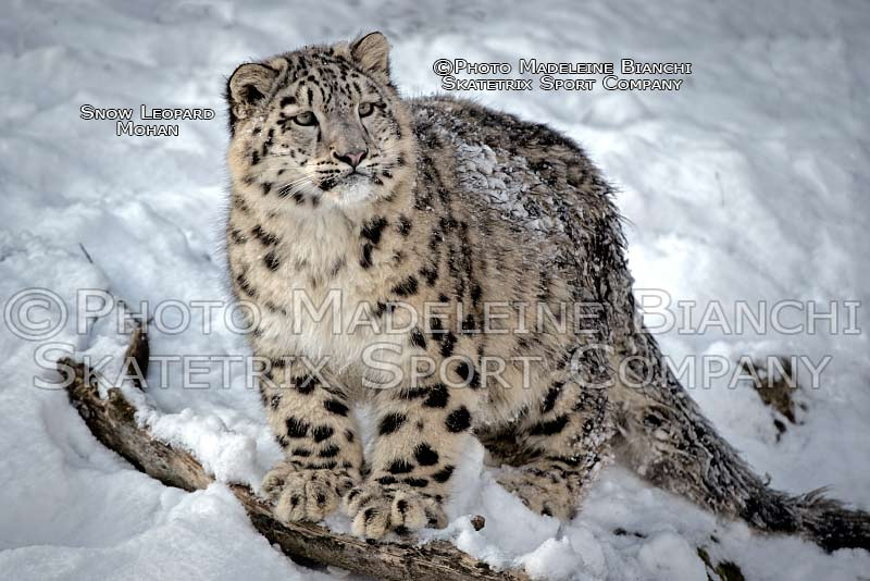 0103_snow_leopard_mohan_stand_snow_winter_hdr_D434779.jpg
