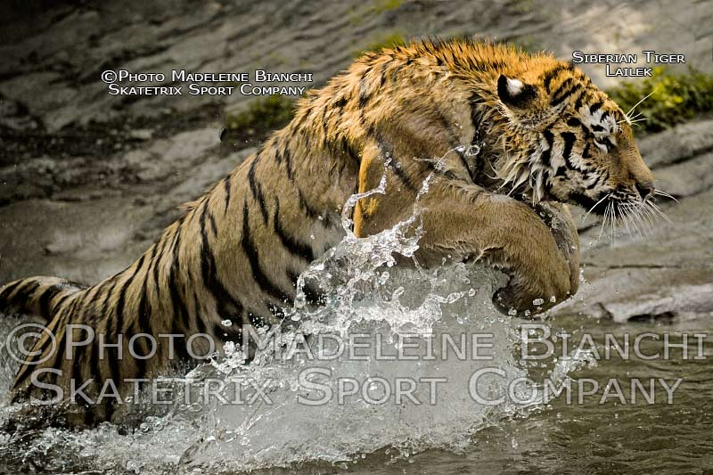 0112_siberian_tiger_lailek_pool_leap_sideview_hdr_295.jpg