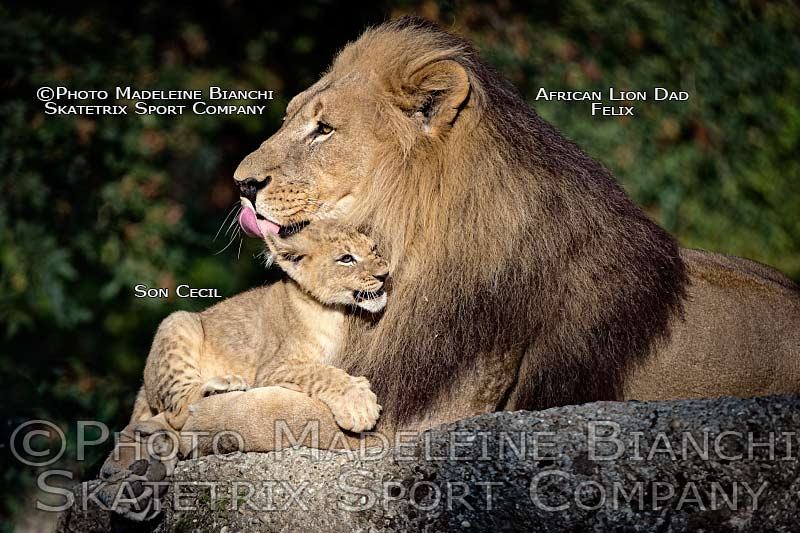 0114_african_lion-dad_felix_tot_cecil_lick_hdr_D4S3282.jpg