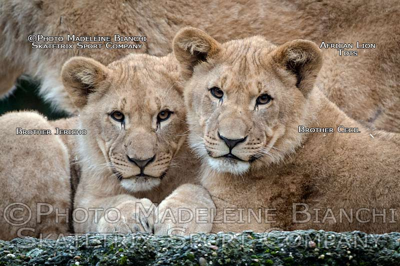 0130_african_lion_brothers_cecil_jericho_portrait_harmony_hdr_D4S6228.jpg
