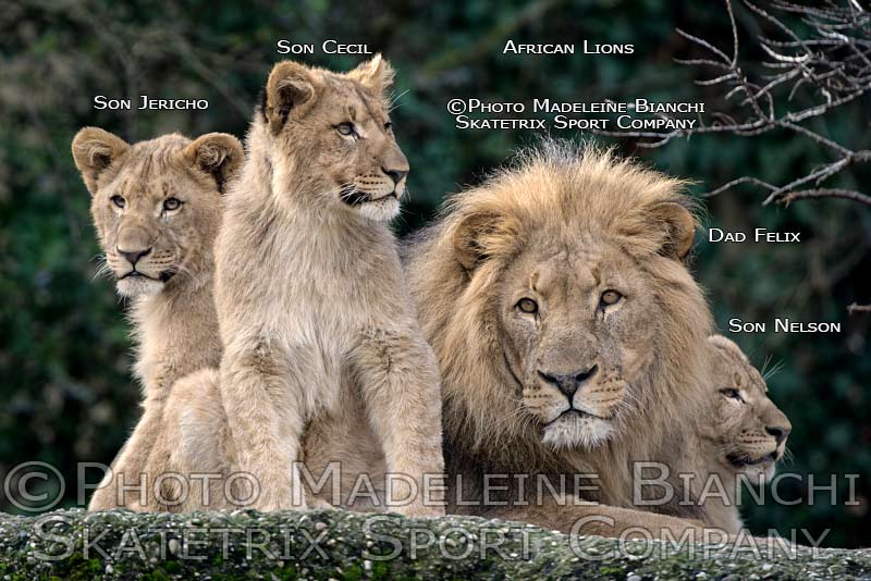 0215_african_lion_dad_brothers_lie_rock_hdr_D4S6768.jpg