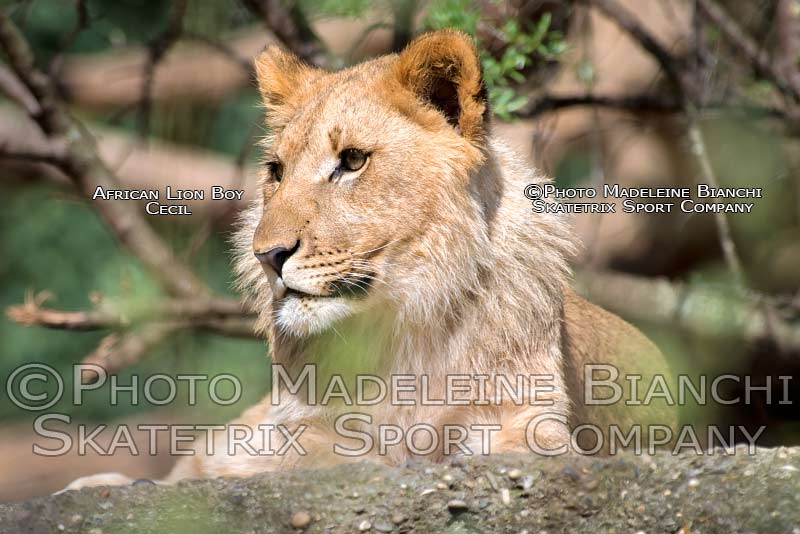 0424_african_lion_youngster_cecil_portrait_lie_rock_hdr_ND50454.jpg