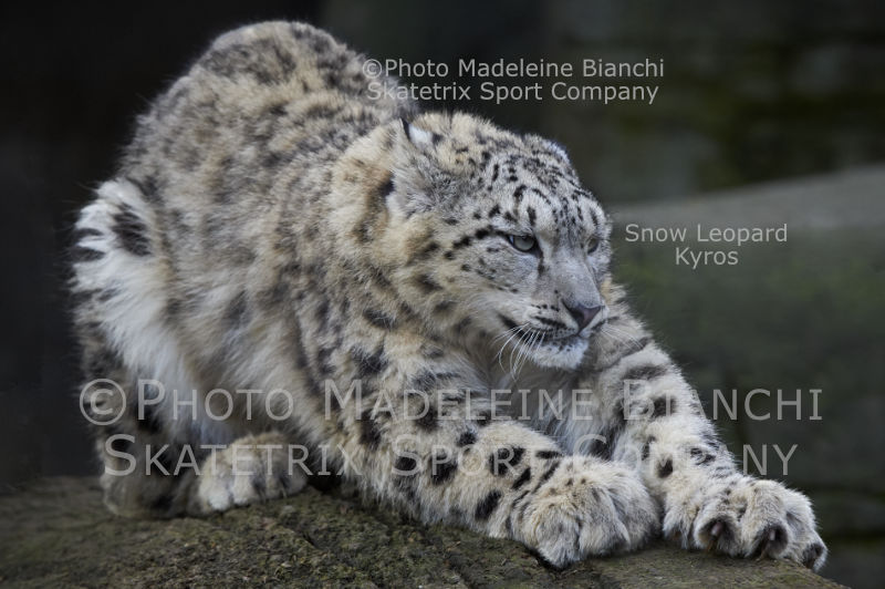 May 13 - 2016 - Snow Leopard KYROS