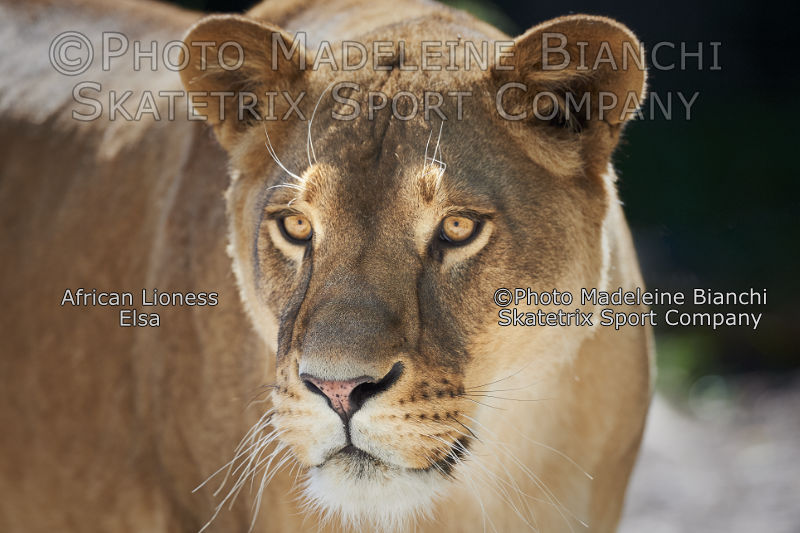 May 25 - 2016 - African Lioness ELSA