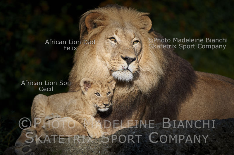 May 27 - 2016 - African Lion CECIL and Daddy FELIX