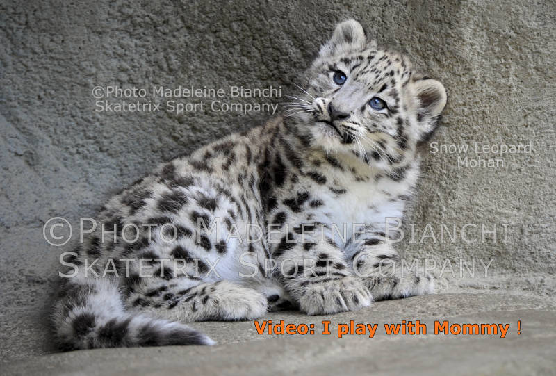 May 28 - 2016 - Snow Leopard MOHAN