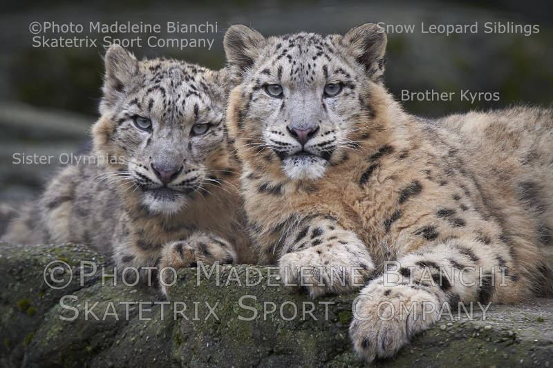 Jun 09 - 2016 - Snow Leopard KYROS and Sister OLYMPIAS