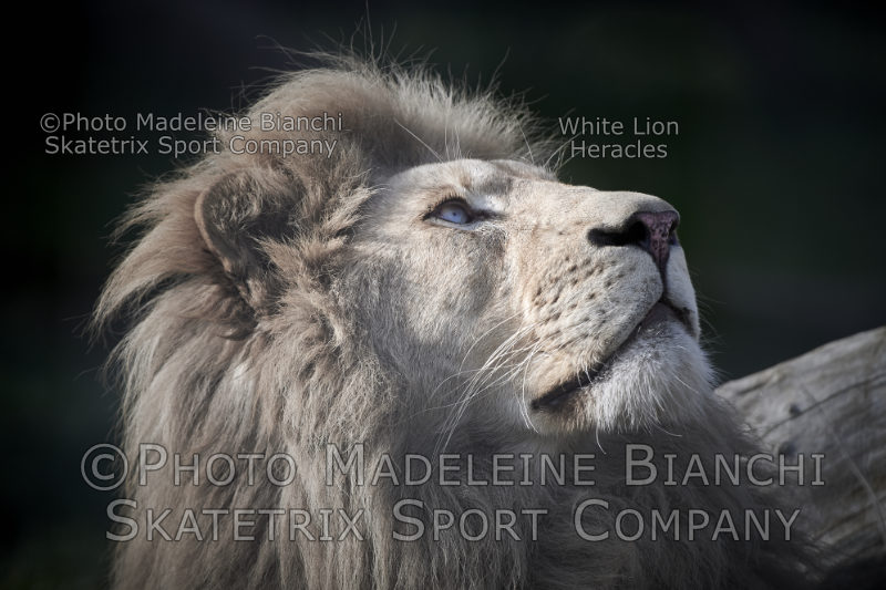 Jun 15 - 2016 - White Lion Male HERACLES
