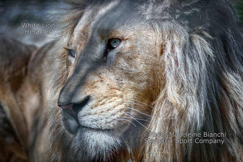 White Lion HERACLES - For Einstein a metaphor of Greatness of Nature!