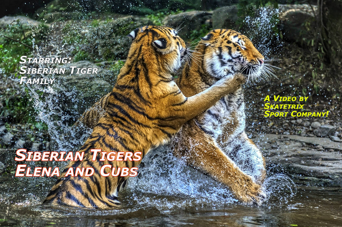 Video: SIBERIAN TIGRESS ELENA AND HER CUBS IN POND! Siberian Tiger Mom ELENA and her triplets - the Daughters LISKA and LUVA and Son LAILEK love to splash around in their pond!