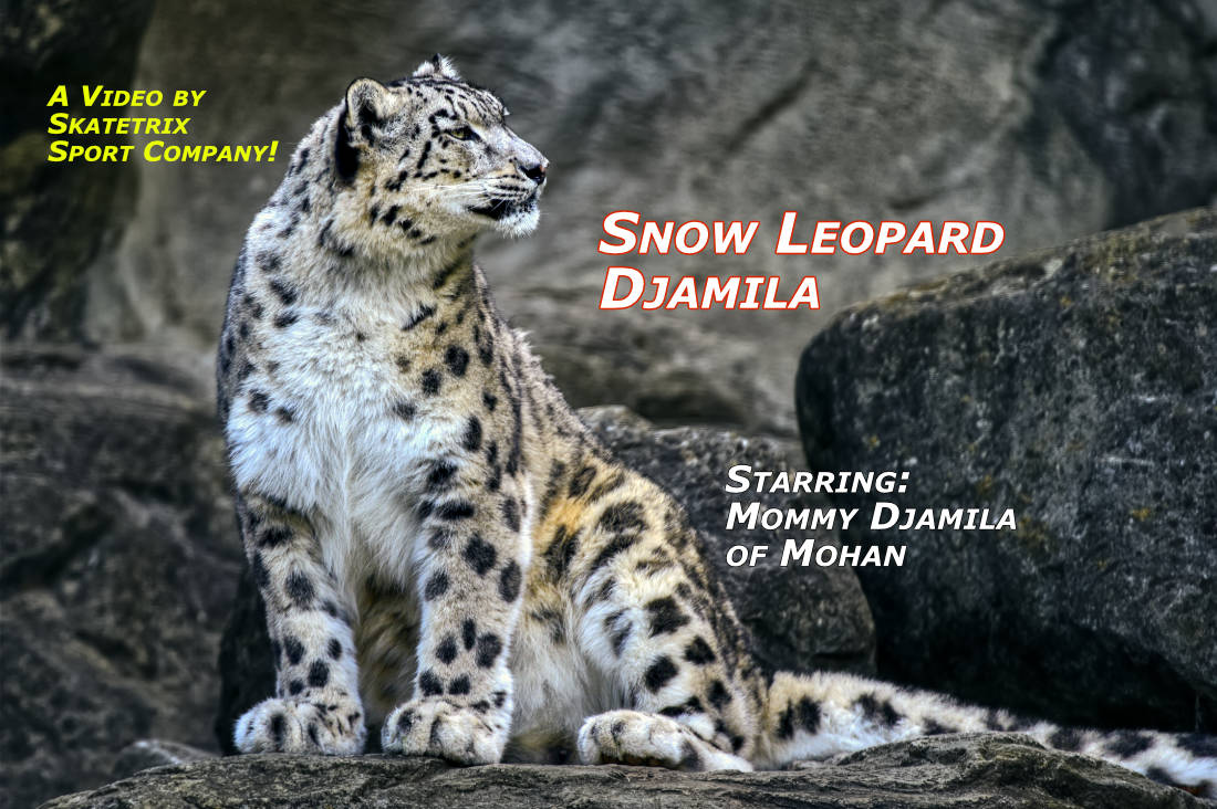 Video: SNOW LEOPARD DJAMILA! I'm the Mommy of Snow Leopard Girls AMELY and AMANDA and of the famous Snow Leopard Boy MOHAN!