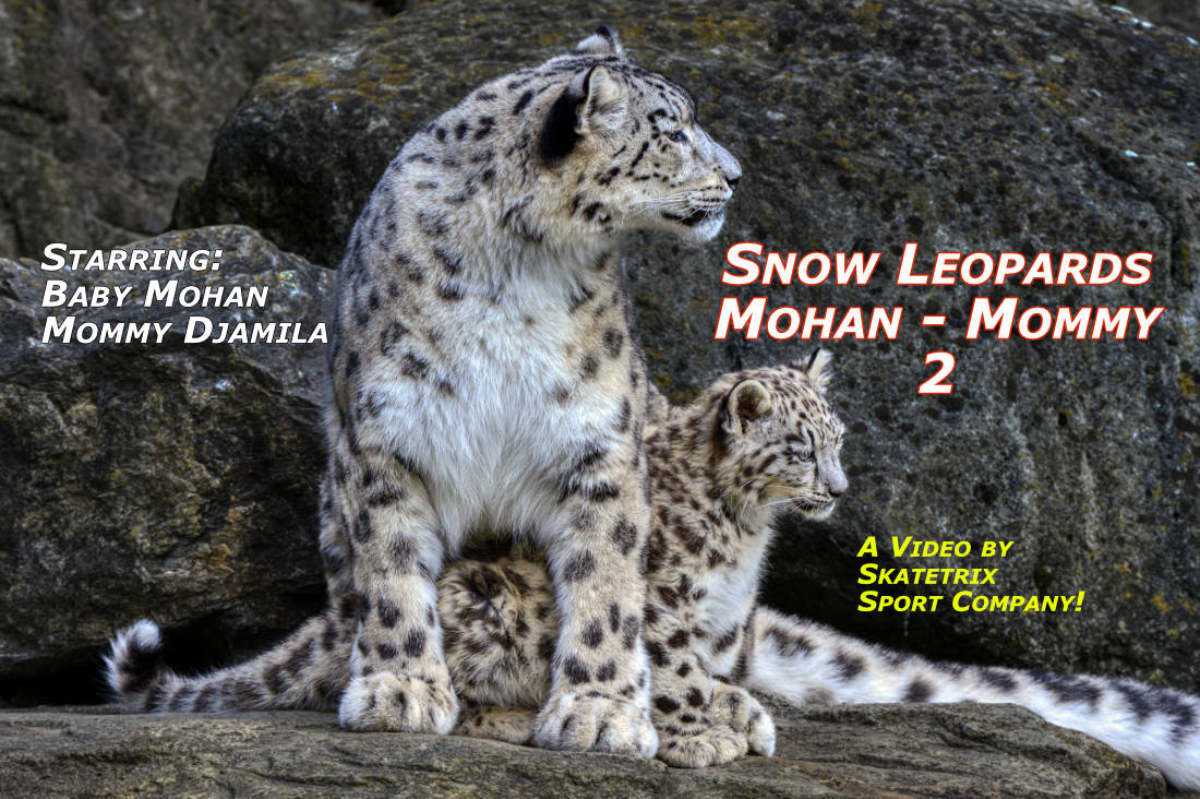 Video: SNOW LEOPARD MOHAN 2! Little Snow Leopard Boy MOHAN has caring parents: Mommy DJAMILA and Daddy VILLY. Mommy! I love you tenderly! But sometimes I show you my love also somewhat tempestuously!