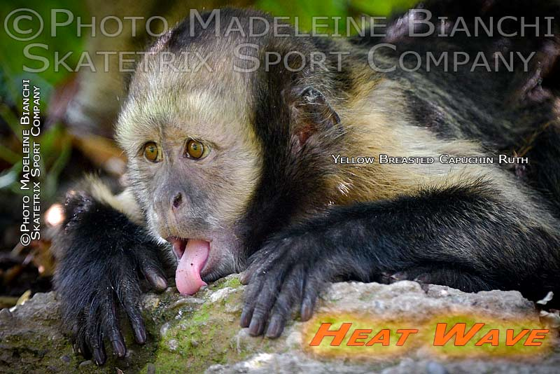 0705_yellow_breasted_capuchin_ruth_tongue_heatwave_80.jpg