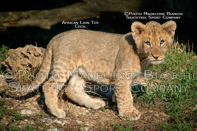 0901_african_lion_tot_cecil_stand_watch_hdr_D4S3311.jpg