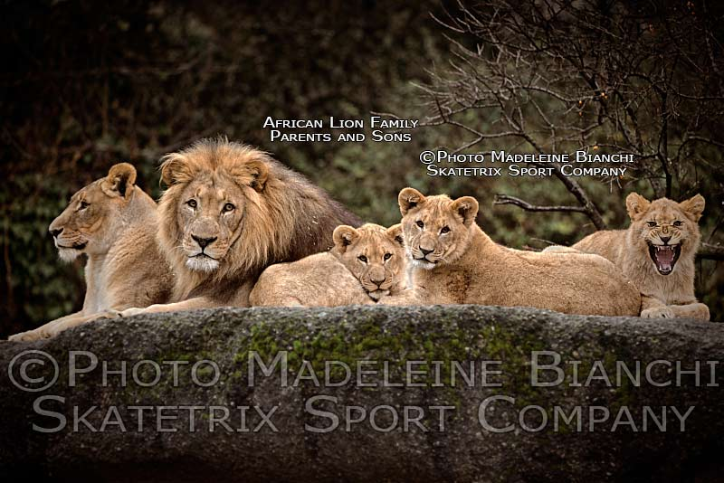 african_lion_family_lie_rock_hdr_D4S6221.jpg