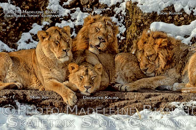 Indian Lion Mom JOY, daughter KALIKA, dad RADJA son KUVAM