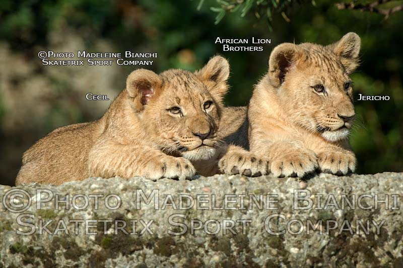 Little Lion Brothers CECIL and JERICHO - The future Kings of African Savanna!