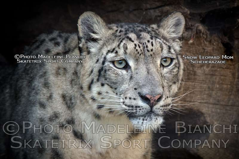 Snow Leopard Female SCHEHERAZADE - Mommy of KYFROS and his Sisters OLYMPIAS and ROXANE!