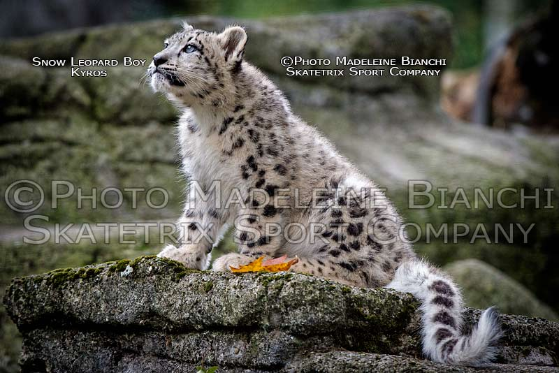 Little Snow Leopard Baby KYROS - The little Mountain King