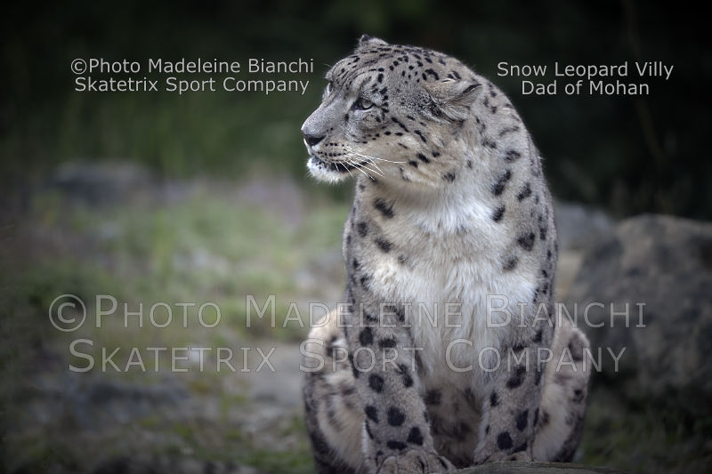 Snow Leopard VILLY - I am the Daddy of MOHAN