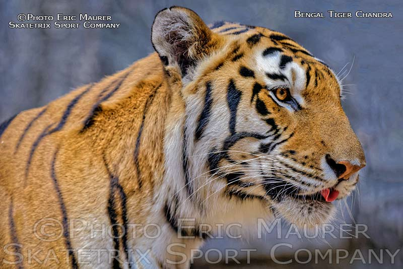 Begal Tiger Male CHANDRA