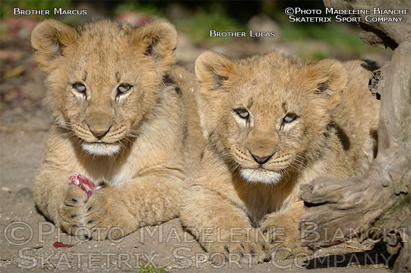 African Lion Brothers  MARCUS and LUCAS